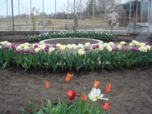 Tulipaner og bassin