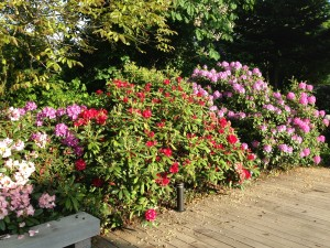Rhododendron store buske