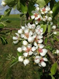 pæretræ i blomst