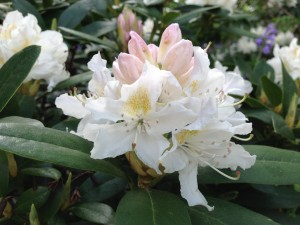 rhododendron6