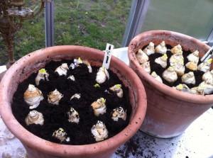 hyacinter i krukker1