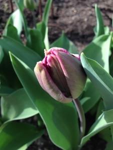 tulipaner 3