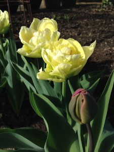 tulipaner 6