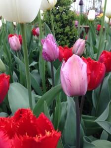 Tulipaner_II6
