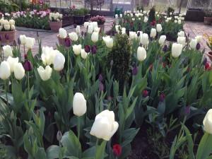 Tulipaner_II7