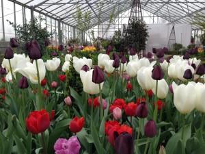 tulipaner_II2