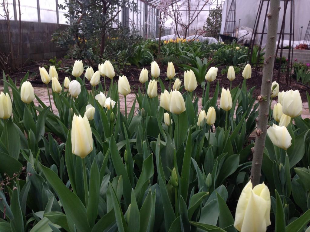 tulipaner 1