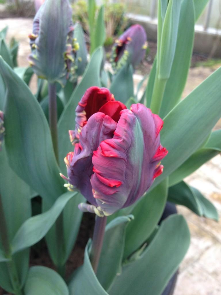 tulipaner 4