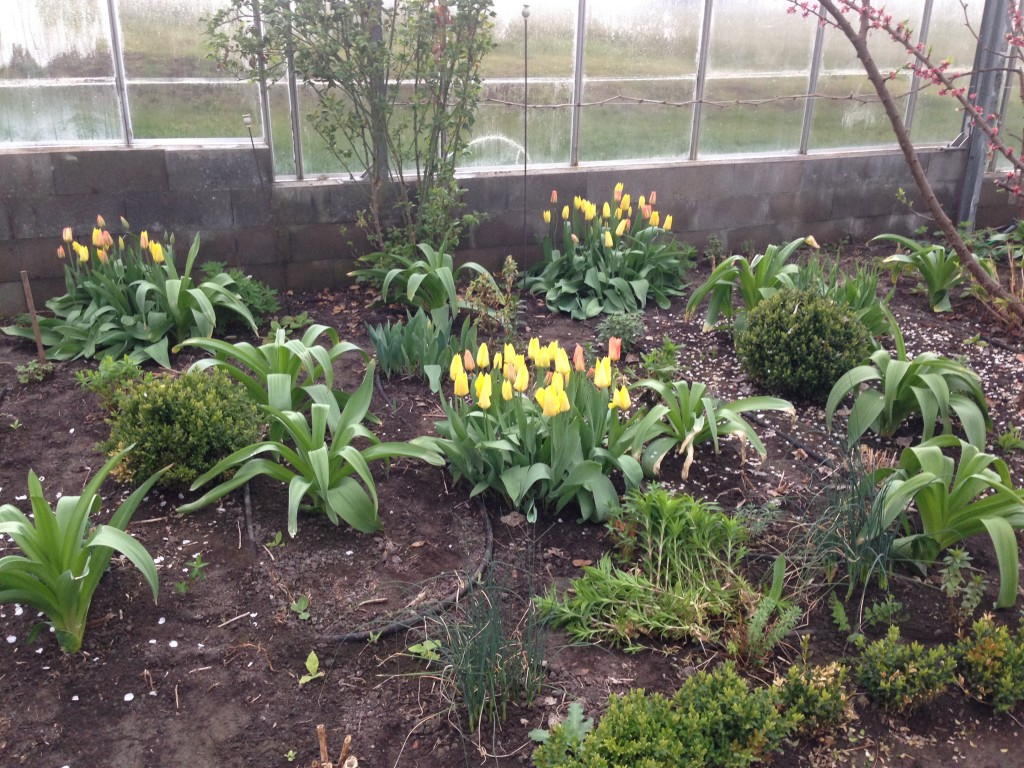 tulipaner 5