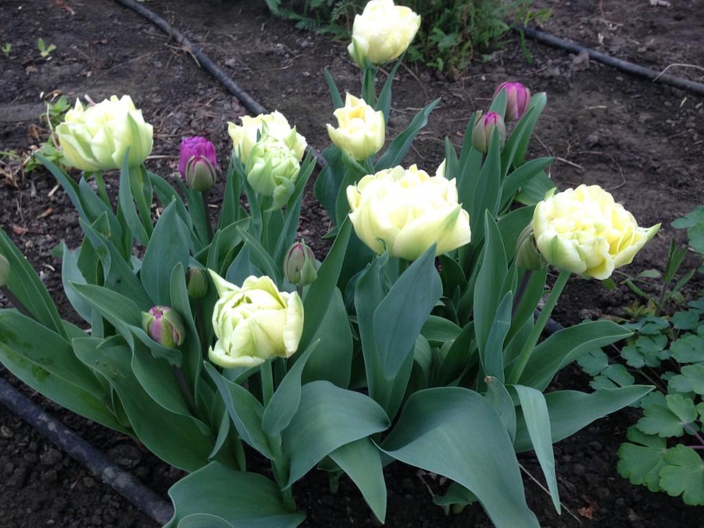tulipaner 7