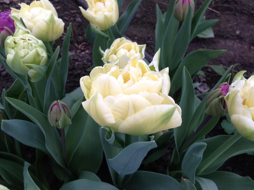tulipaner 9
