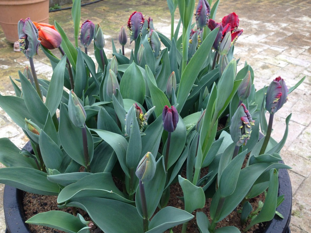 tulipaner part two 5