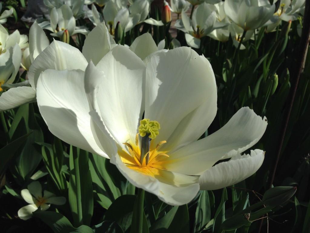 tulipaner tre 1