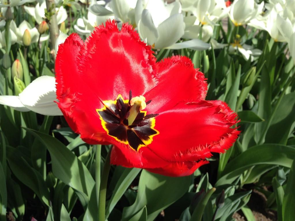 tulipaner tre 2