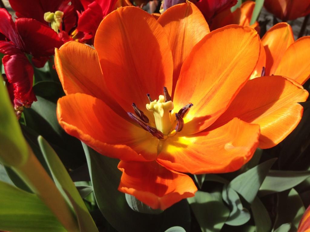 tulipaner tre 3
