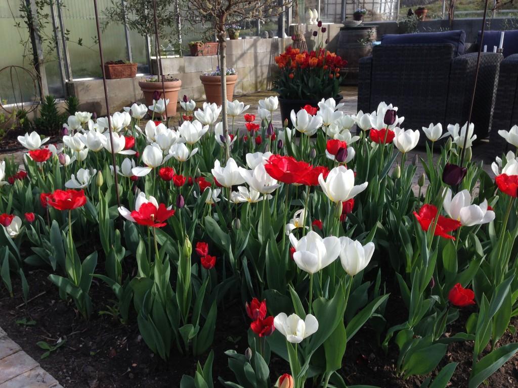 tulipaner tre 5