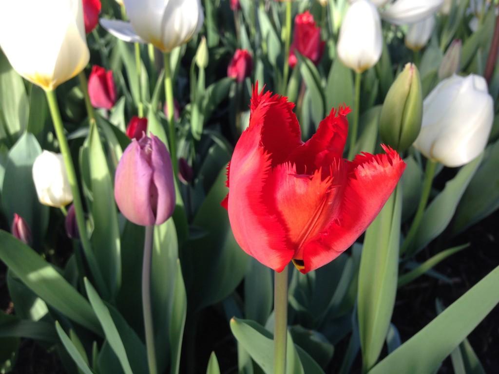 tulipaner tre 6