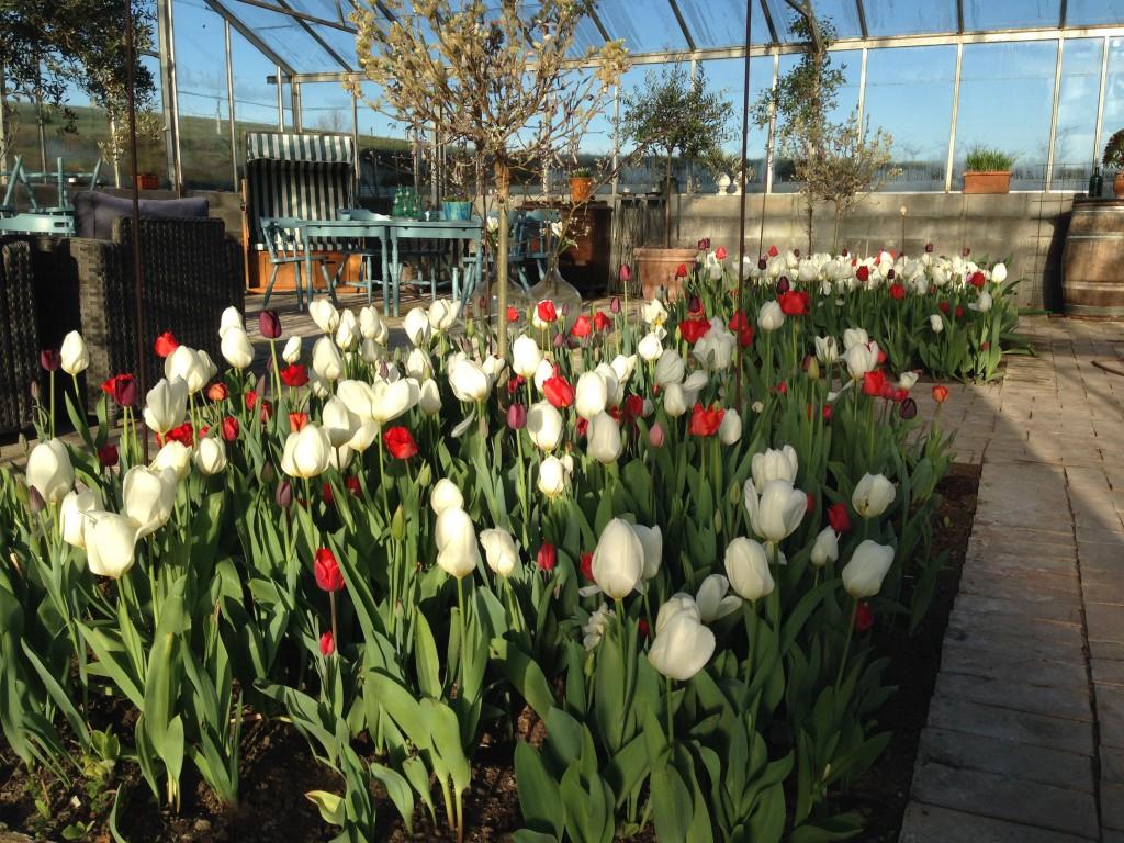 tulipaner tre 7