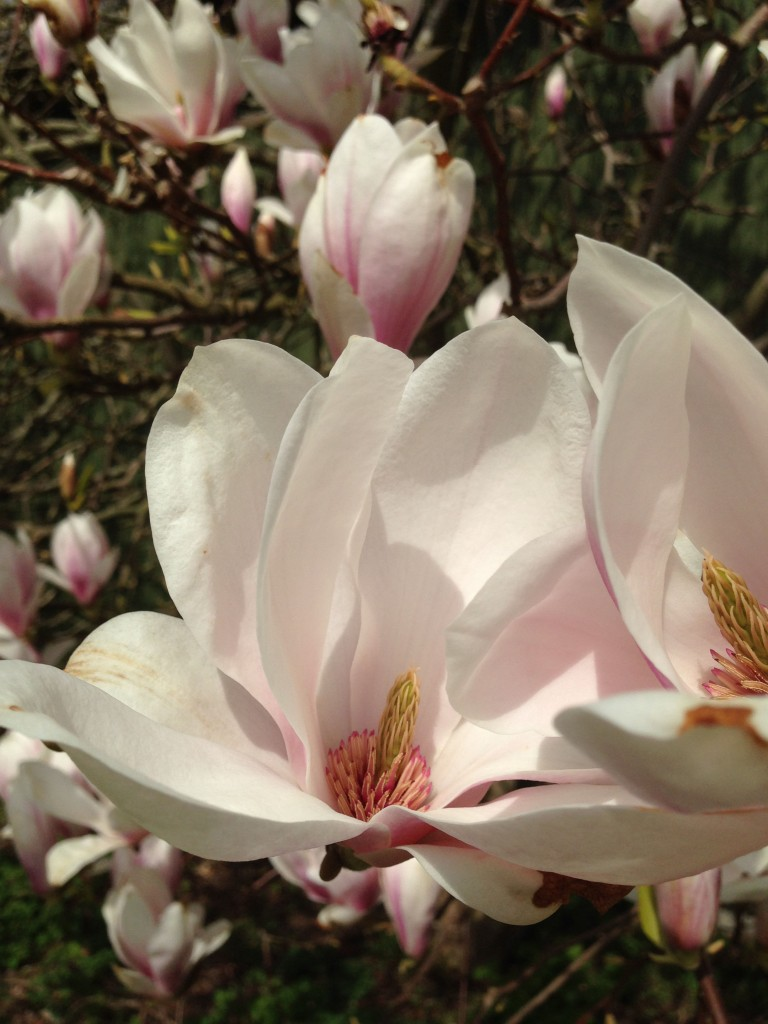 tulipantræ 4