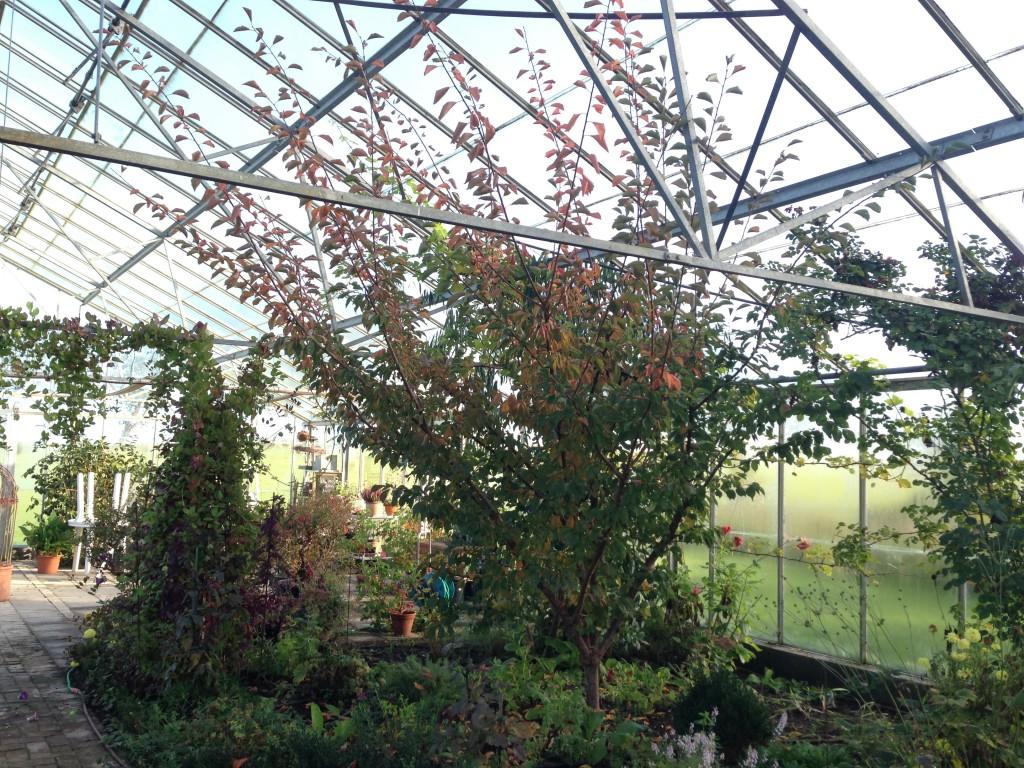 abrikostræer 2