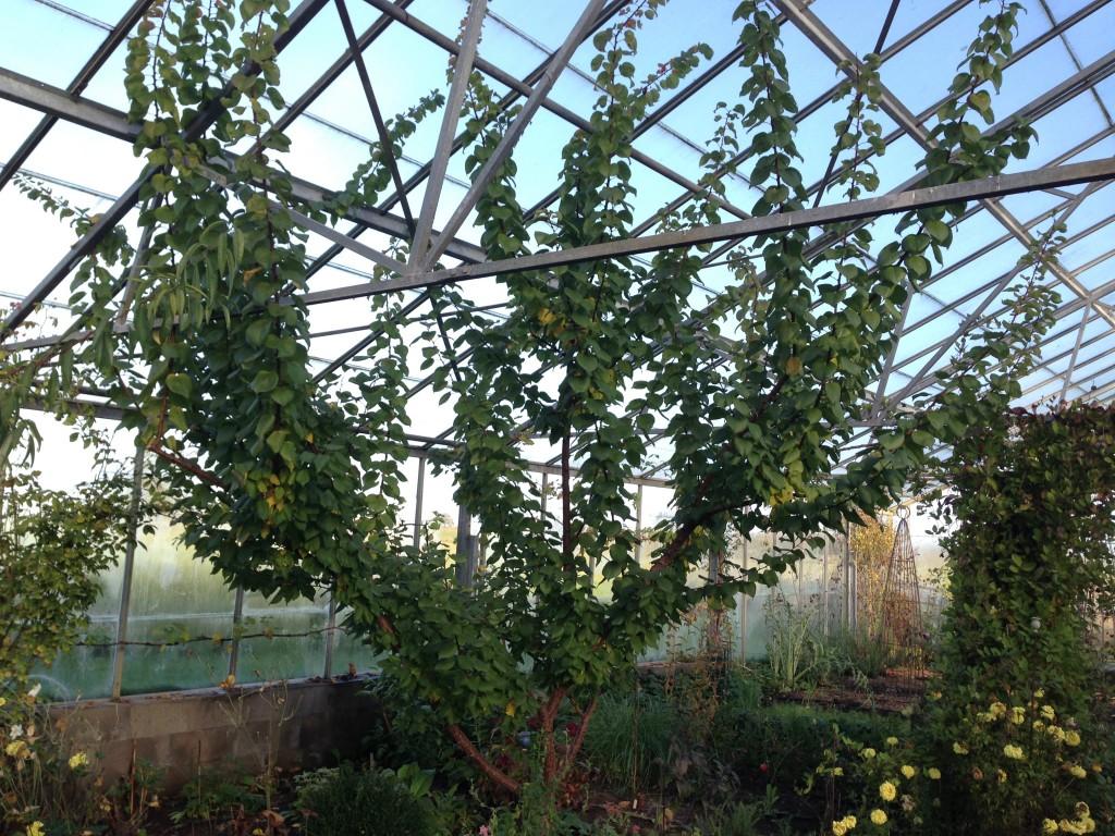 abrikostræer 3