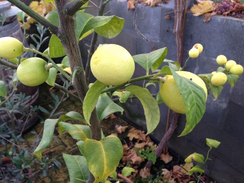 citrus 5