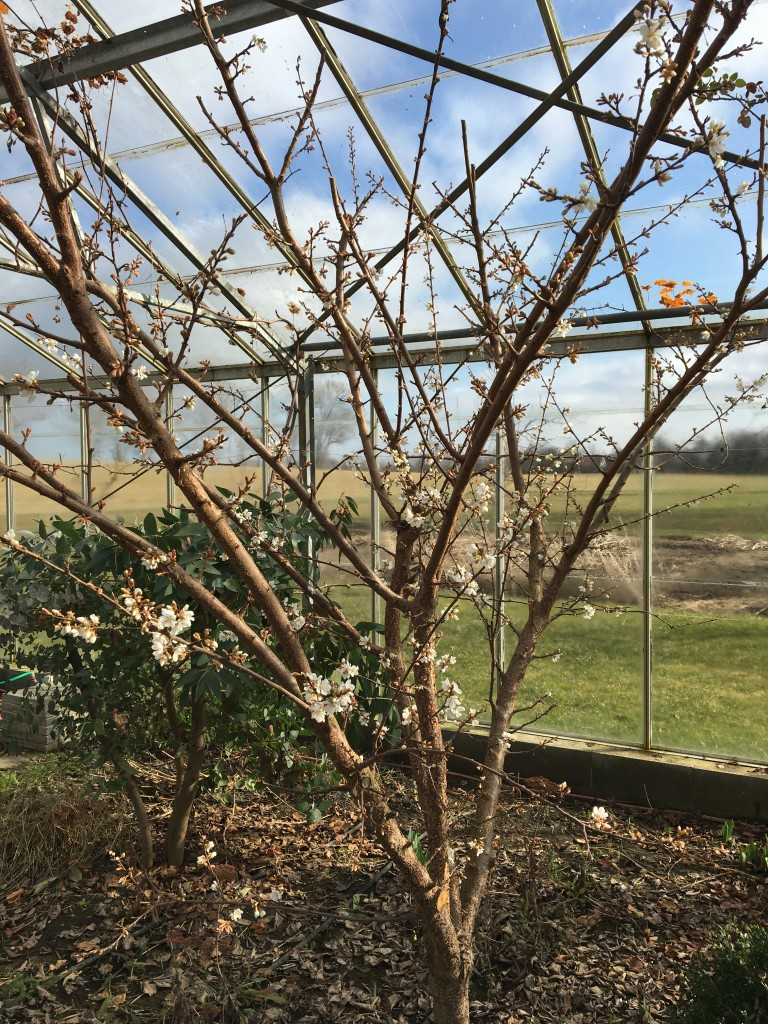 abrikosblomster 3