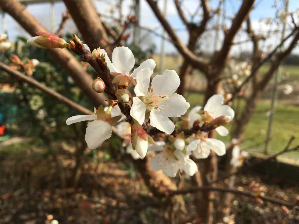 abrikosblomster 4