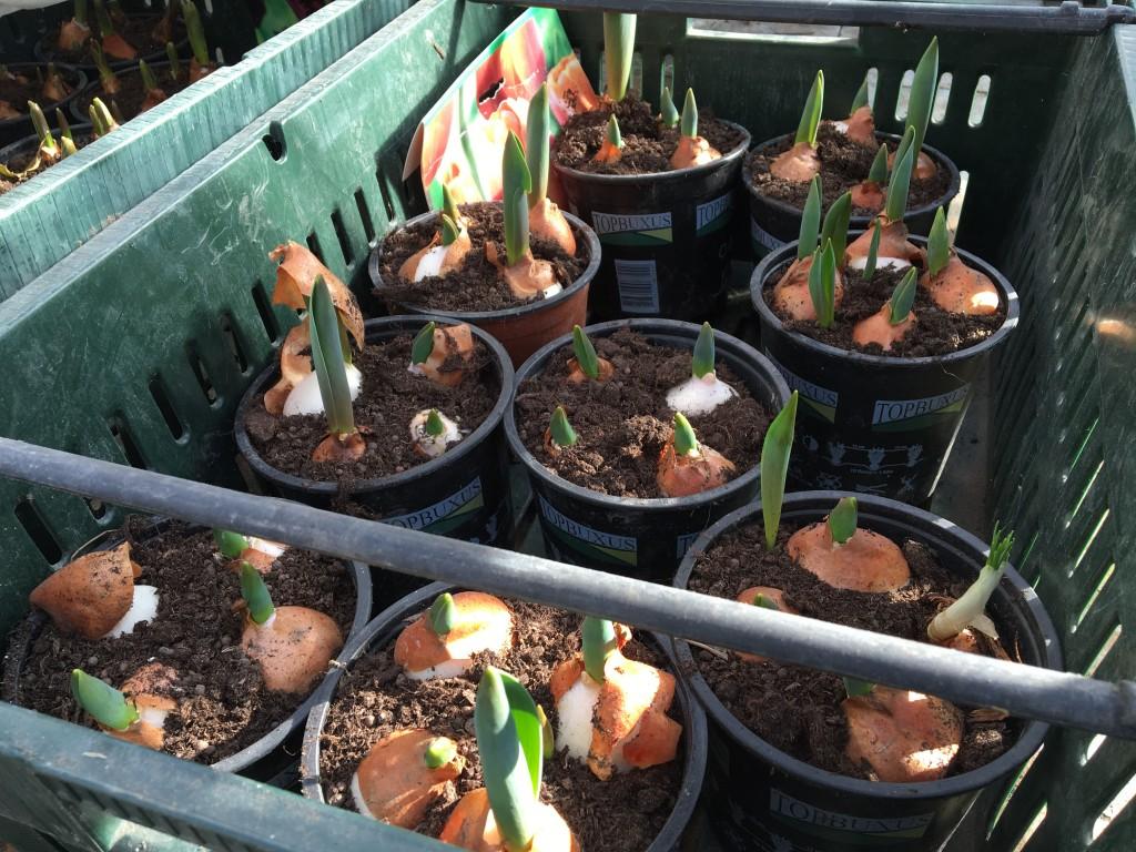 tulipaner fremme 2