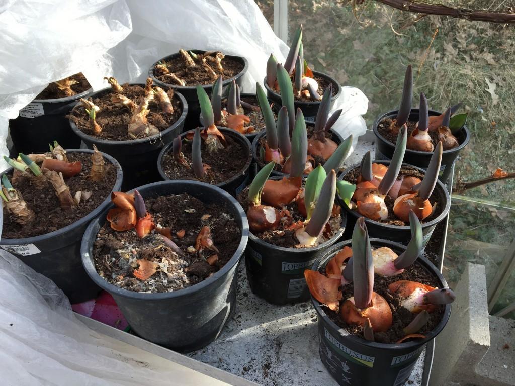 tulipaner fremme 3