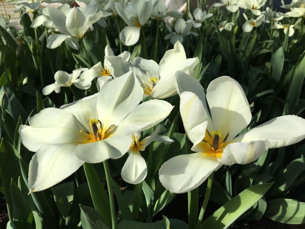 tulipaner 2016 4